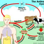 Phát hiện một con bò sữa bị chết vì Bệnh Than ở Victoria