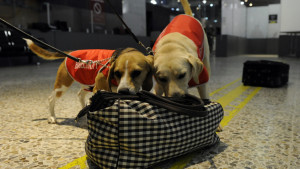 Five year old beagle Tui (left) and four year old labrador Falcor perform a sniff search on a bag during a demonstration at Melbourne Airport in Melbourne, Monday, Feb. 20, 2012. The two dogs were part of a celebration to mark the 20th anniversary of Department of Agriculture, Fisheries and Forrestry (DAFF) detector dogs that help prevent harmful pests and diseases from entering the country. (AAP Image/Julian Smith) NO ARCHIVING