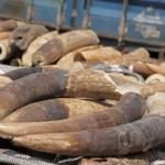 Việt Nam tịch thu hơn 2 tấn ngà voi từ Nigeria