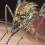 Melbourne với khám phá mới trị bệnh sốt rét