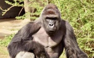 gorilla-NEWS