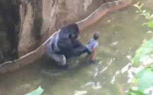 gorilla-NEWS1