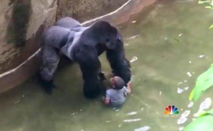 Gorilla bị bắn chết có làm hại em bé tại Cincinnati Zoo không?