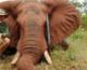 Thượng nghị sĩ Úc thừa nhận bắn Voi và ăn thịt