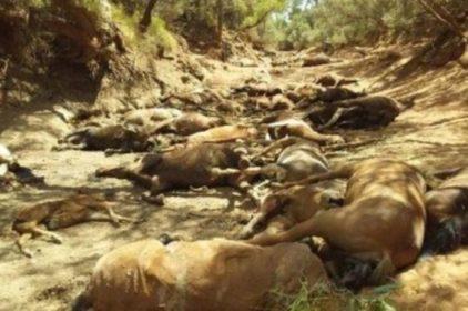 Nóng bức Ngựa – Cá chết nhiều tại Úc