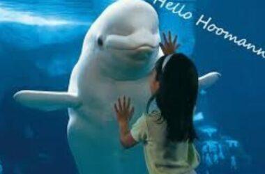 Cá voi thân thiện ai cũng 'nựng' được