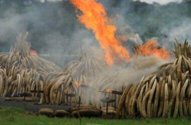 Malaysia tiêu hủy ngà voi mang bán ở VN trị giá 3,2 triệu đô