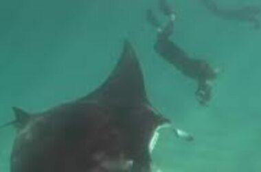 Cá đuối cầu cứu thợ lặn ở Australia