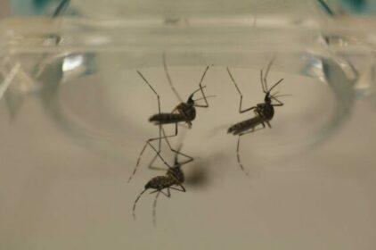Brazil thử nghiệm vi khuẩn chống sốt xuất huyết Dengue