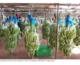 Campuchia cho Hoàng Anh Gia Lai xuất lô chuối đầu tiên sang TQ
